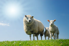 Sheep Family Stock Images