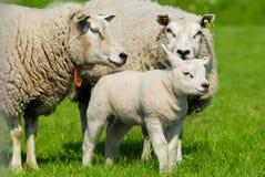 Free Sheep Family Royalty Free Stock Image - 5339206