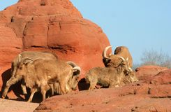 Sheep Family. A group of sheep running on a red cliff Royalty Free Stock Photo