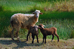 Sheep family. Royalty Free Stock Photography