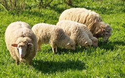 Sheep family. On the green pasture royalty free stock photos