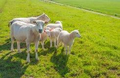 Sheep family on a Dutch dike Stock Photo
