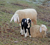 Sheep family with father mother and the little lamb Royalty Free Stock Photos