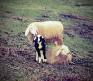 Sheep family with little newborn lamb Royalty Free Stock Images