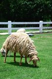 Sheep Family Livestock on a Farm Royalty Free Stock Images