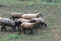 Sheeps Family in Montenegro. Sheep Family Livestock on a grass Stock Photography