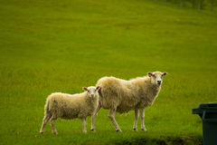 Sheep family. 2 sheep near a rest stop in Iceland Royalty Free Stock Image