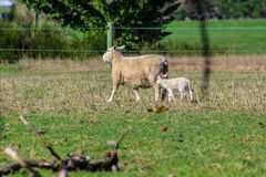 Sheep family in New Zealand, ewe and lamb on green field stock photography