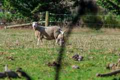 Sheep family in New Zealand, ewe and lamb on green field royalty free stock image