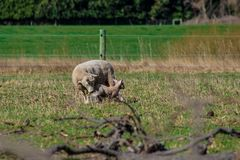 Sheep family in New Zealand, ewe and lamb on green field royalty free stock images