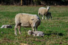 Sheep family in New Zealand, ewe and lamb on green field stock image