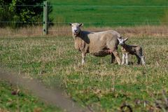 Sheep family in New Zealand, ewe and lamb on green field stock photos