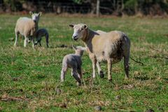 Sheep family in New Zealand, ewe and lamb on green field royalty free stock photo