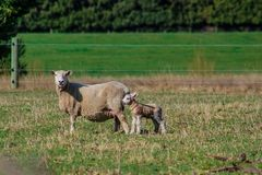 Sheep family in New Zealand, ewe and lamb on green field royalty free stock photography