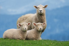 Sheep Family in New Zealand, with Young Lambs. Sheep Family Livestock on a Farm with Young Lambs, New Zealand