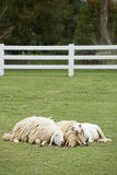 Sheep family sleep together Stock Photography