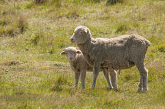 Sheep Family with Young Lamb Royalty Free Stock Photos