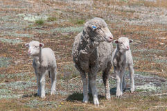 Sheep Family with Young Lambs Royalty Free Stock Image