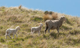 Sheep Family with Young Lambs Royalty Free Stock Photo