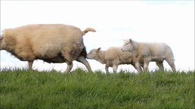 Sheep famlily on dike, two lambs, sound stock video footage