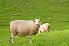 Sheep farm Royalty Free Stock Photo