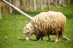 Sheep on a farm. A Sheep eats grass on a farm Stock Photo