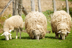 Sheep on a farm. Sheep eat grass on a farm royalty free stock photo