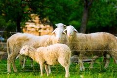 Sheep on farm Stock Photography