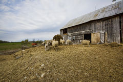 Sheep Farm Stock Images