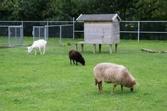 Sheep in farm. Sheep and goat grazing in farm Royalty Free Stock Photo
