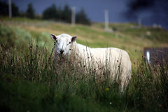 Sheep in farm Stock Photos