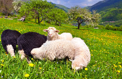 Sheep on a farm Stock Image