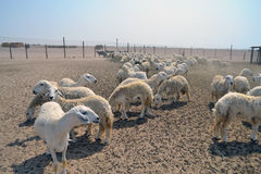 Sheep farm Stock Photography