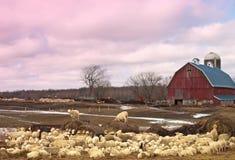 Sheep farm Royalty Free Stock Images