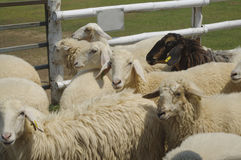 Sheep in farm Stock Photo
