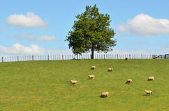 Sheep Farm Royalty Free Stock Photos