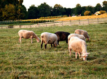 Sheep on the farm Stock Images