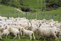 Sheep on the farm Royalty Free Stock Image