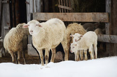Sheep on farm Royalty Free Stock Photos