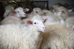 Sardinia. Sheep on the farm royalty free stock photos