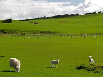 Sheep farm Stock Photos