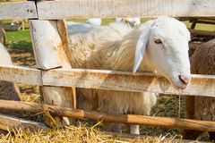 Sheep in farm Royalty Free Stock Images