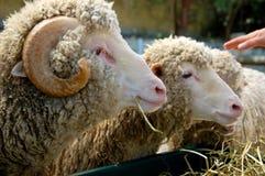 Sheep at the farm Stock Photo