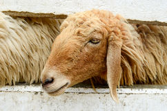 Sheep. In a  farm Stock Image