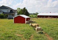 Sheep Farm. Stock Image