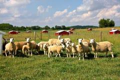 Sheep Farm. Royalty Free Stock Photo