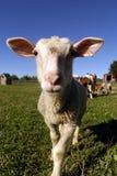 Sheep - Farm Animals. A sheeps face Royalty Free Stock Image