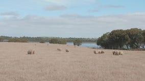Sheep in the farm, Australia. 4k stock footage