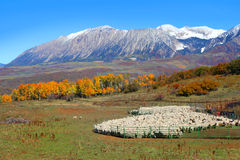 Sheep farm with  autumn landscape Royalty Free Stock Images