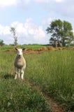 Sheep Farm Stock Images